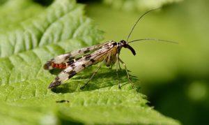 Mouche scorpion femelle / Un jardin dans le Marais poitevin.