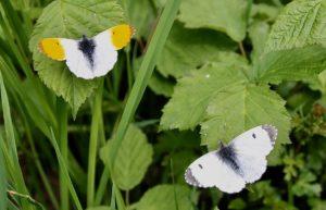 Aurore mâle et Aurore femelle / Un jardin dans le Marais poitevin.