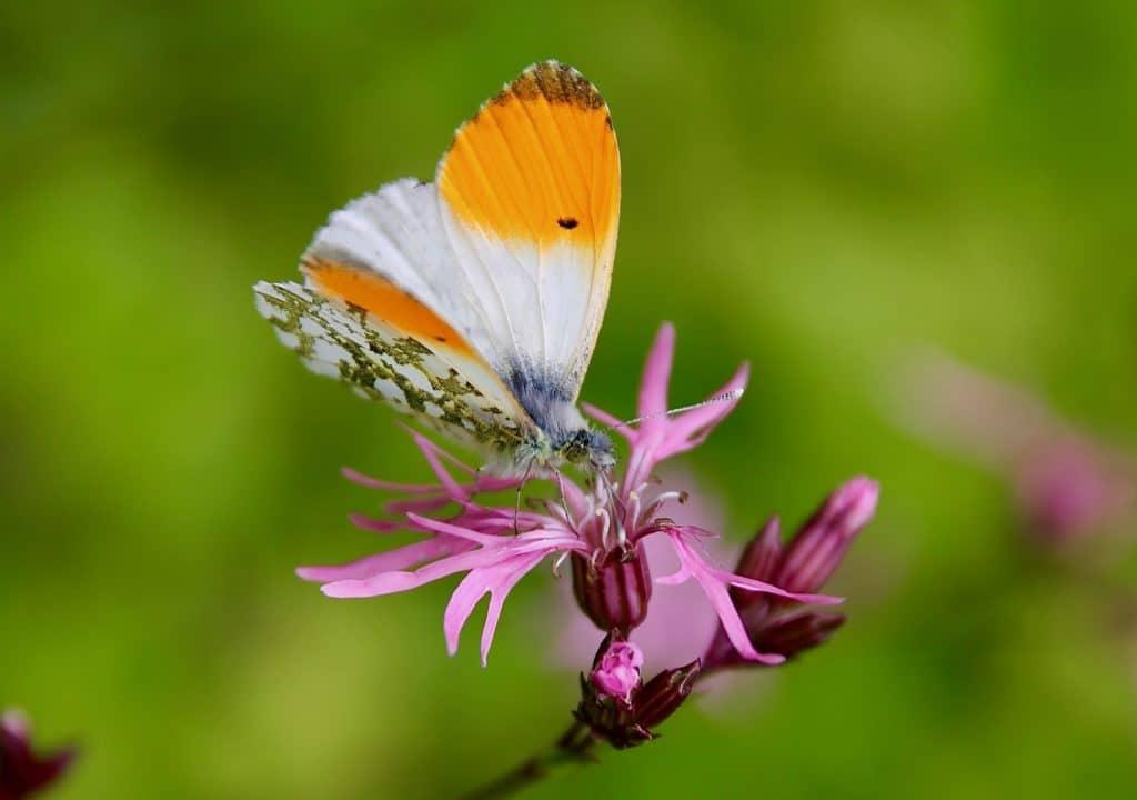 Aurore mâle sur Lychnis fleur de coucou / Un jardin dans le Marais poitevin.