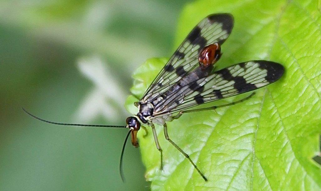 Mouche scorpion, mâle, le bulbe abdominal redressé à la manière d'un scorpion.