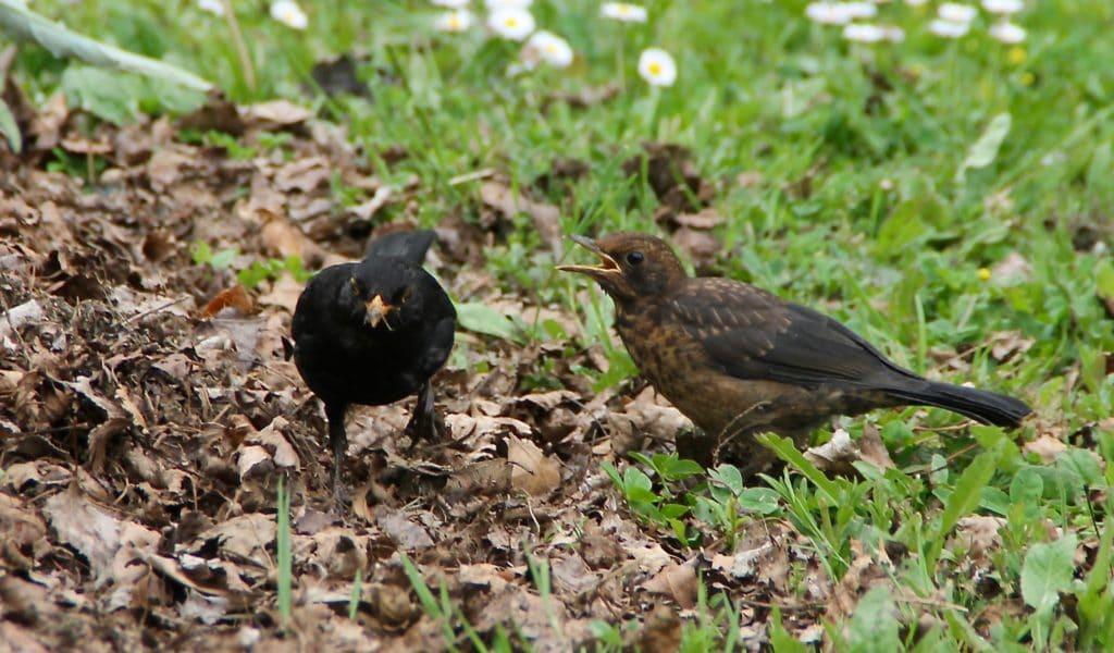 L'apprentissage du merleau.Leçon numéro un : faire voler les feuilles mortes / Un jardin dans le Marais poitevin.