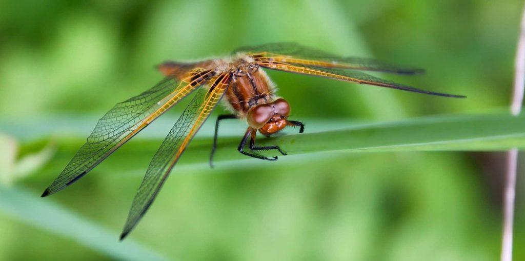 Libellule fauve : yeux bruns et bordure des ailes jaune / Un jardin dans le Marais poitevin.