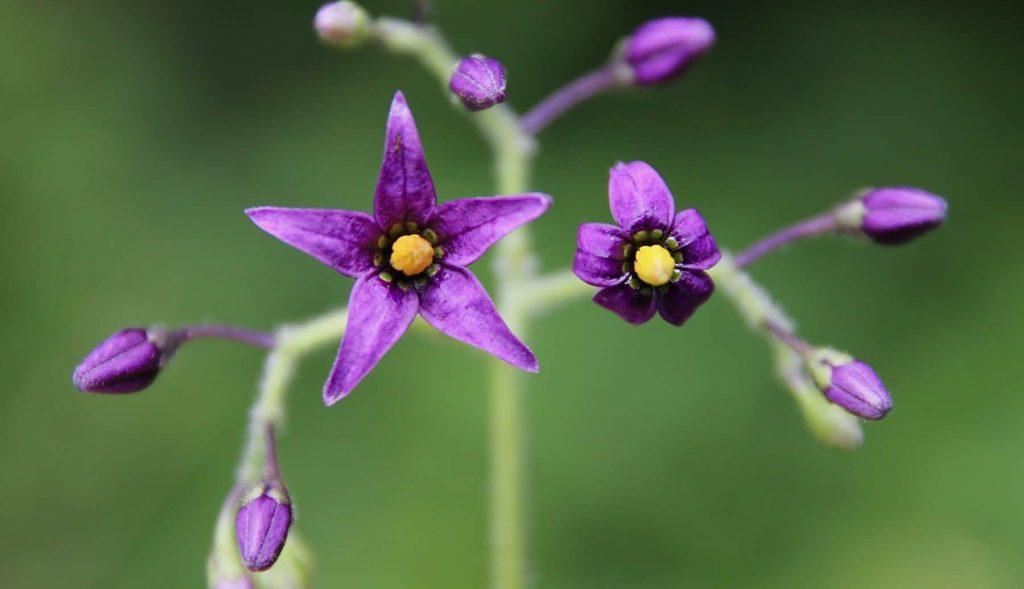 Fleurs étoilées de la Morelle douce-amère / Un jardin dans le Marais poitevin.