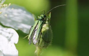 Oedémère noble femelle sur bouton de fleur de mûrier sauvage / Un jardin dans le Marais poitevin.