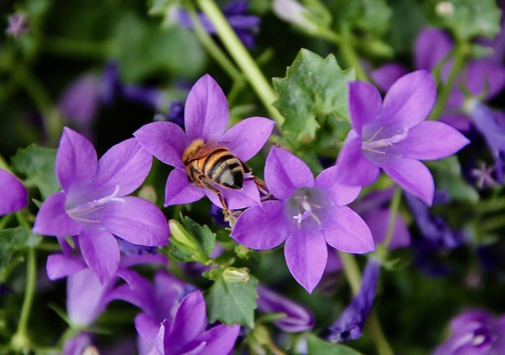 Abeille sur fleur de Campanule des murailles / Un jardin dans le Marais poitevin.