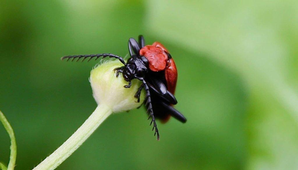 Cardinal à tête noire / Un jardin dans le Marais poitevin.