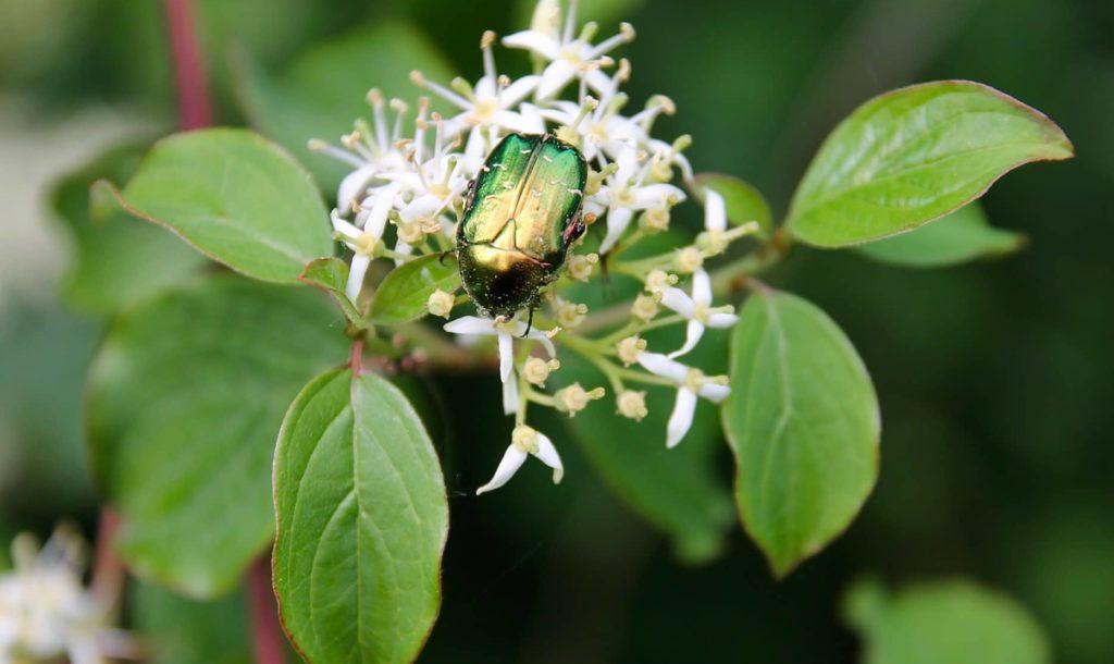 D'un vert franc, avec ses nervures arquées caractéristiques, le feuillage du Cornouiller sanguin rougit en fin d'été et en automne : Un jardin dans le Marais poitevin.