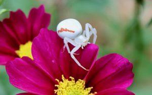 Araignée crabe, Thomise variable (Misumena vatia) passant l'obstacle des pétales de cosmos / Un jardin dans le Marais poitevin.