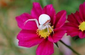 Thomise variable (Misumena vatia) à l'affût au coeur d'une fleur de cosmos / Un jardin dans le Marais poitevin.