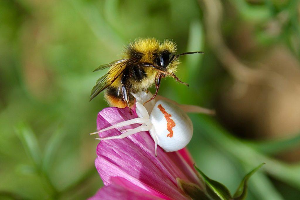 Le bourdon n'a pas résisté à l'attaque foudroyante de la Thomise variable (Misumena vatia) / Un jardin dans le Marais poitevin.