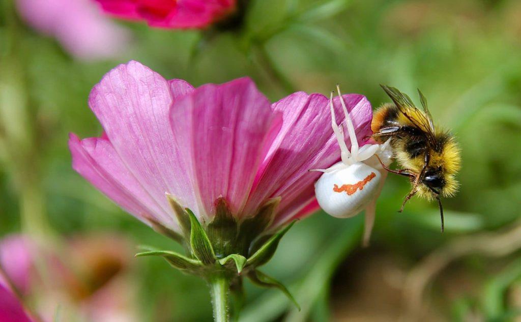 """Araignée crabe, Thomise variable (Misumena vatia) """"saignant"""" sa proie / Une jardin dans le Marais poitevin."""