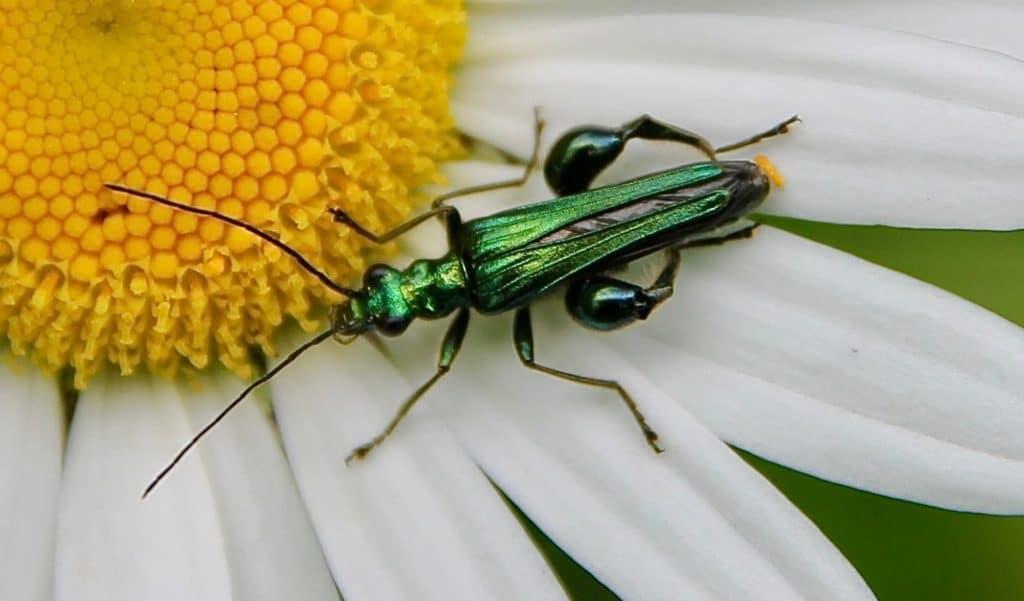 Oedémère noble (Oedemera nobilis), mâle, sur fleur de marguerite / Un jardin dans le Marais poitevin.