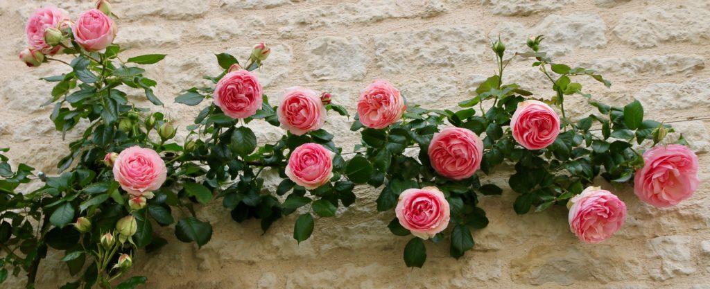 Roses Pierre-de-Ronsard / Un jardin dans le Marais poitevin.