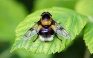 Volucelle bourdon, mâle, forme Bourdon terrestre / Un jardin dans le Marais poitevin.