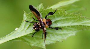 Trichopoda pennipes : des ailes largement écartées au repos, orangées, noires et blanchâtres / Un jardin dans le marais poitevin.