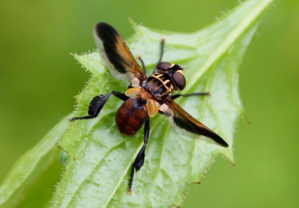 Trichopoda pennipes : une brosse de soies noires sur les tibias arrière /un jardin dans le Marais poitevin.