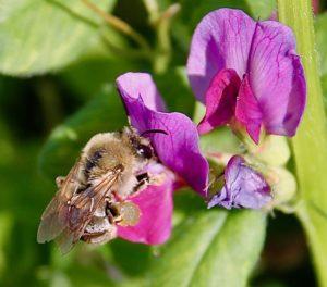 Anthophore plumeuse sur fleur de Vesce commune / Un jardin dans le Marais poitevin.