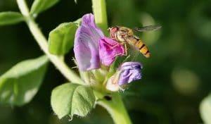 Syrphe sur fleur de Vesce commune / Un jardin dans le Marais poitevin.