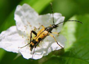 Lepture tacheté (Rutpela maculata) sur fleur de mûrier / Un jardin dans le Marais poitevin.