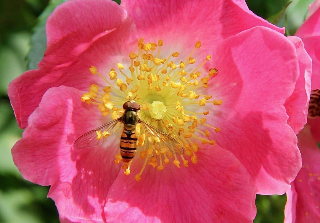 Syrphe sur fleur de rosier liane / Un jardin dans le Marais poitevin.
