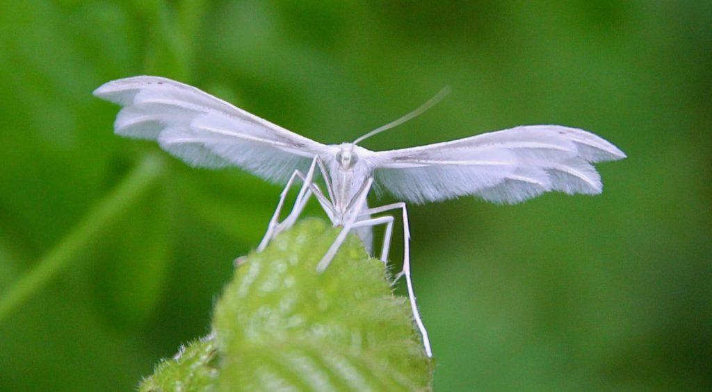 Ptérophore blanc (Pterophorus pentadactylus) / Un jardin dans le Marais poitevin.