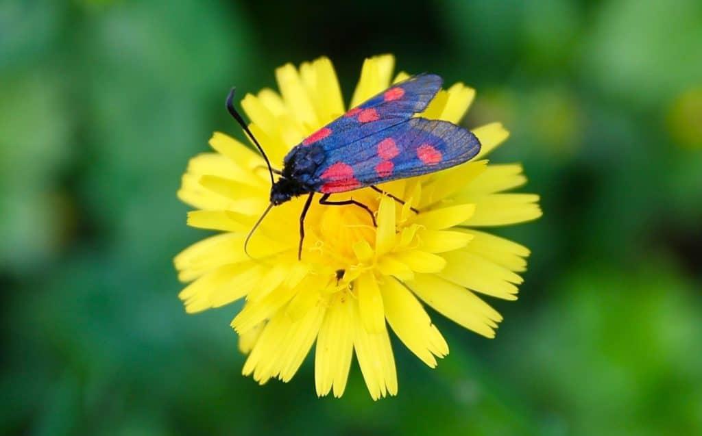 Zigène du trèfle : cinq taches rouges sur les ailes antérieures / Un jardin dans le Marais poitevin.