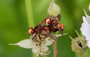 Sice ferrugineux (Sicus ferruginosus), in copula / Un jardin dans le Marais poitevin.