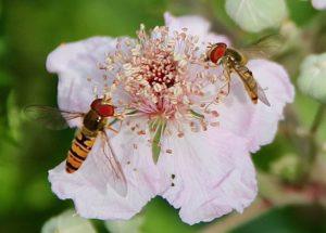 Syrphes sur fleurs de Ronce commune / Un jardin dans le Marais poitevin.