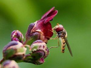 Syrphe sur fleur de Scrofulaire aquatique / Un jardin dans le Marais poitevin.
