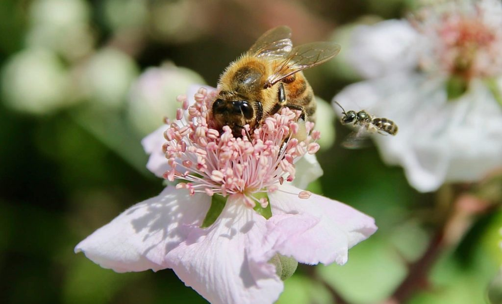 Abeilles butinant et à l'approche d'une fleur de la Ronce commune / Un jardin dans le Marais poitevin.