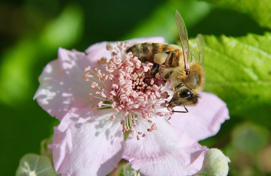 Abeille sur fleur de Ronce commune / Un jardin dans le Marais poitevin.