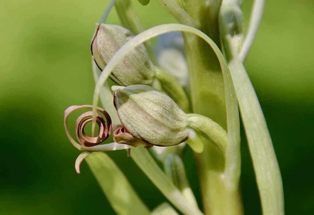Orchis bouc / Un jardin dans le Marais poitevin.