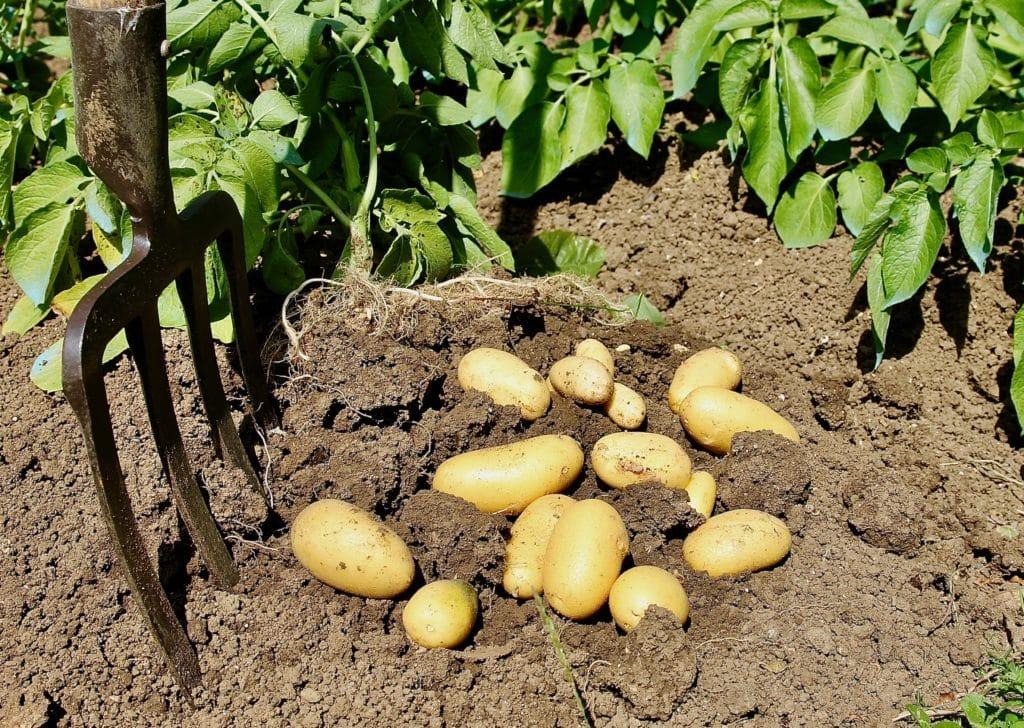 Pas d'attaque de taupin sur les pommes de terres primeurs. Pourvu que cela dure ! / Un jardin dans le marais poitevin.
