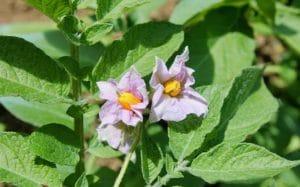 Enfin les premières fleurs de pommes de terre / Un jardin dans le Marais poitevin.