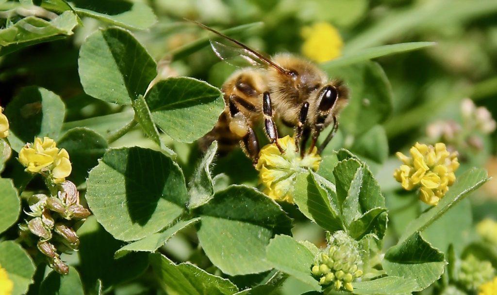Abeille sur inflorescence du Petit trèfle jaune / Un jardin dans le Marais poitevin.