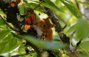 Écureuil et cerises / Un jardin dans le Marais poitevin.