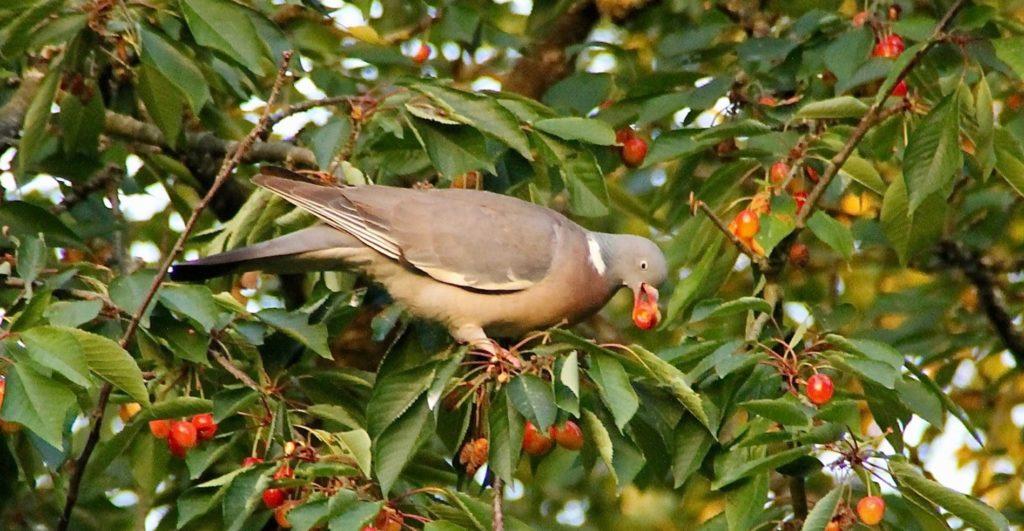 Pigeon et cerises / Un jardin dans le Marais poitevin.