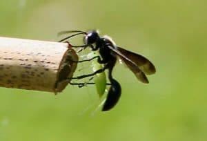 Isodonte mexicaine introduisant une sauterelle dans une tige de bambou / un jardin dans le Marais poitevin.
