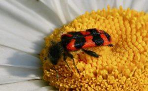 Clairon des ruches sur fleur de marguerite / Un jardin dans le Marais poitevin.