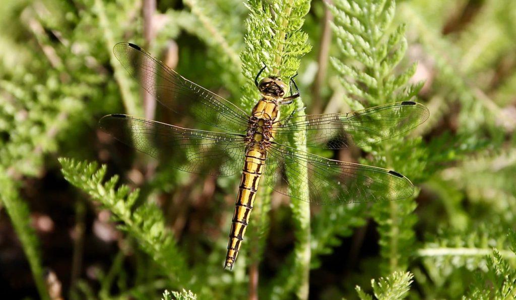 Orthétrum réticulé, femelle (Orthetrum cancellatum) / Un jardin dans le Marais poitevin.