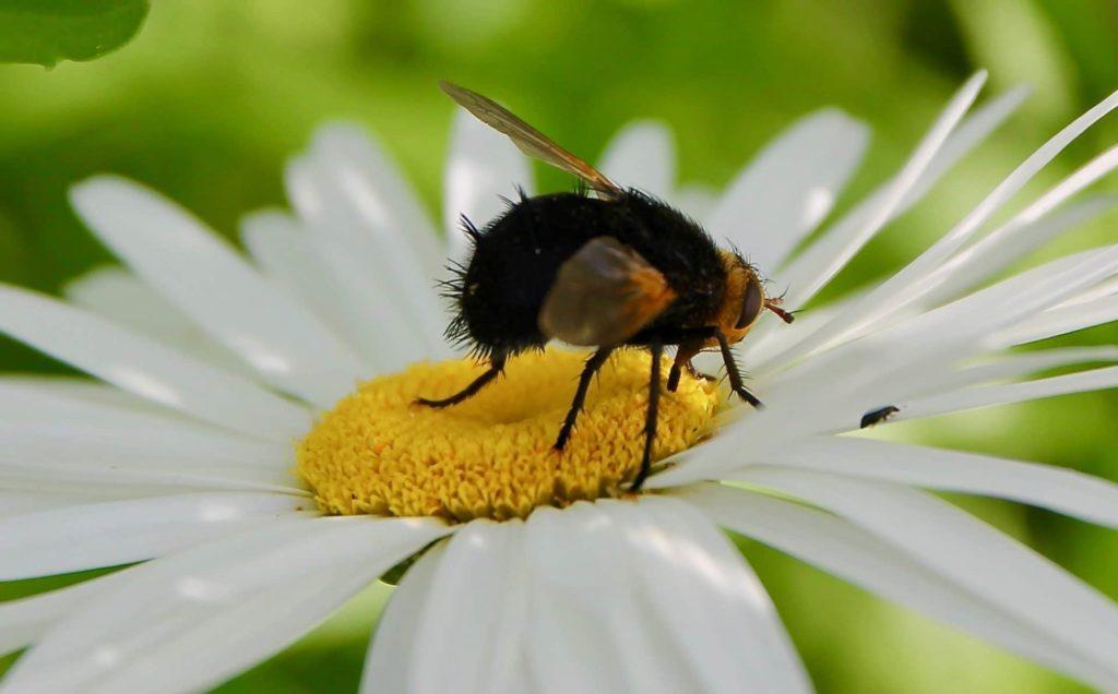 Échinomye corpulente (Tachina grossa) sur fleur de marguerite / Un jardin dans le Marais poitevin.