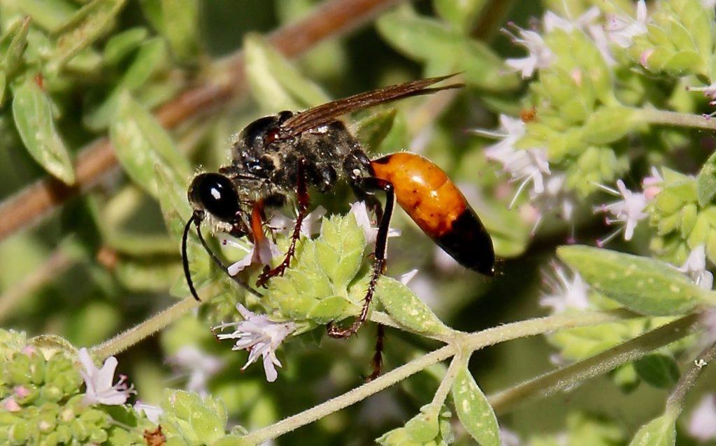 Le Sphex gryllovore sur fleurs d'origan / Un jardin dans le Marais poitevin.