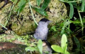 Fauvette à tête noire, mâle / Un jardin dans le Marais poitevin.