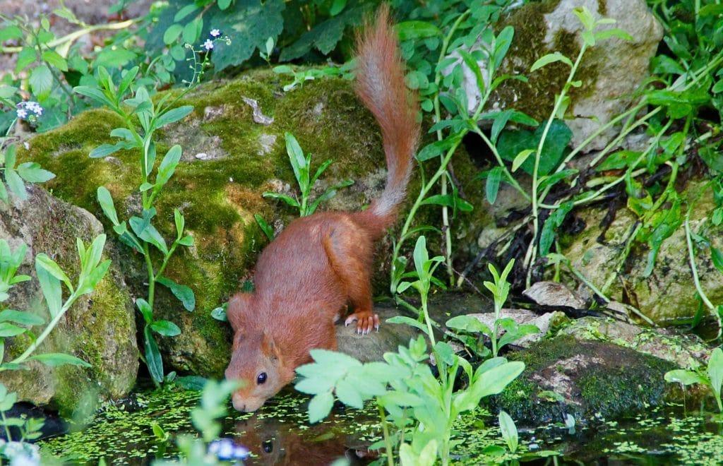 Ecureuil à la buvette du jardin / Un jardin dans le Marais poitevin.