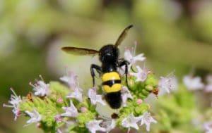Scolie hirsute : deux large bandes jaune vif sur l'abdomen / Un jardin dans le Marais poitevin.