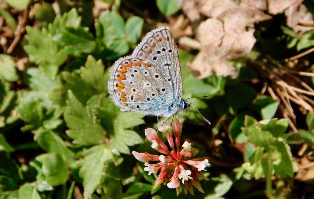 Azuré commun, mâle / Un jardin dans le Marais poitevin.