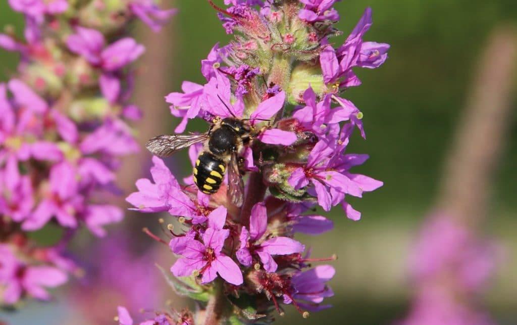 Anthidie sur l'épi floral de la Salicaire / Un jardin dans le Marais poitevin.