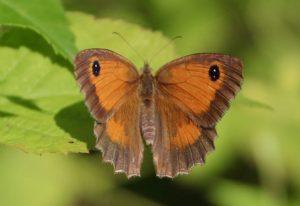 Amaryllis, femelle.