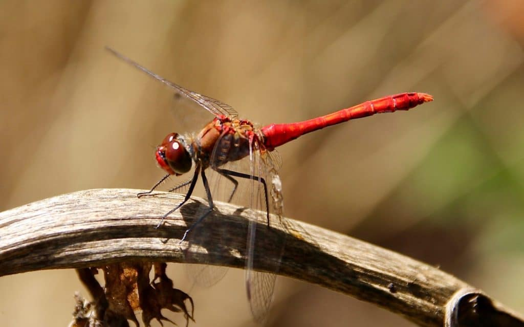 Sympétrum rouge-sang, mâle.