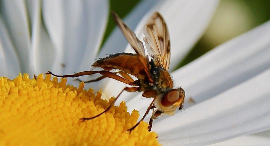 Phasie crassipenne, mâle, sur fleur de marguerite / Un jardin dans le Marais poitevin.